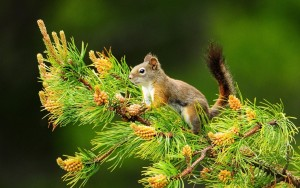 Squirrel-on-Pine-tree-1280x800-wide-wallpapers.net